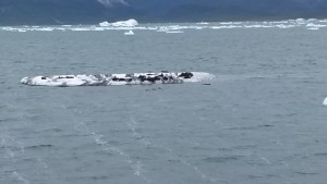 Fir seals on an iceberg